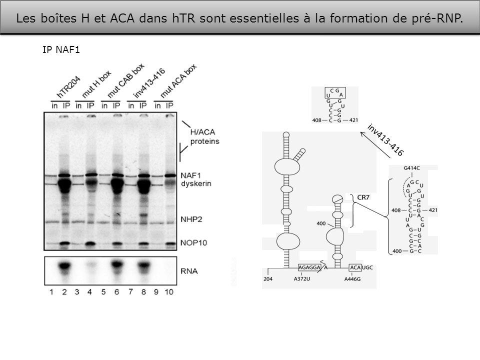Les boîtes H et ACA dans hTR sont essentielles à la formation de pré-RNP.