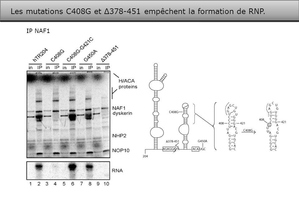Les mutations C408G et ∆378-451 empêchent la formation de RNP.