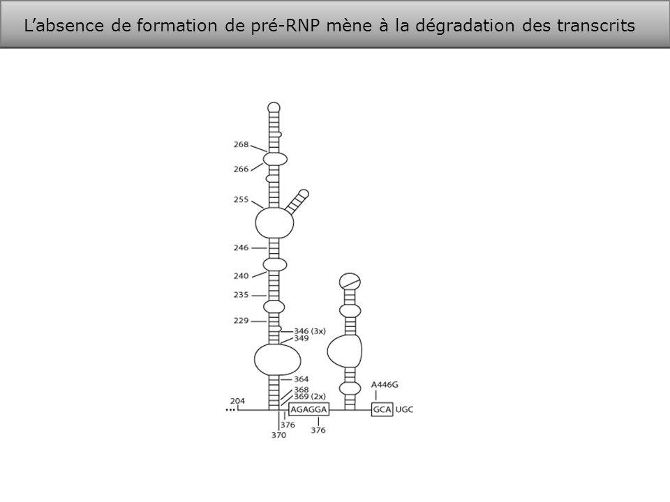 L'absence de formation de pré-RNP mène à la dégradation des transcrits