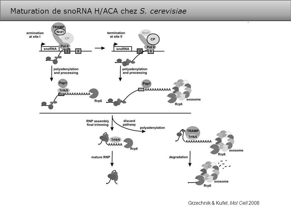 Maturation de snoRNA H/ACA chez S. cerevisiae