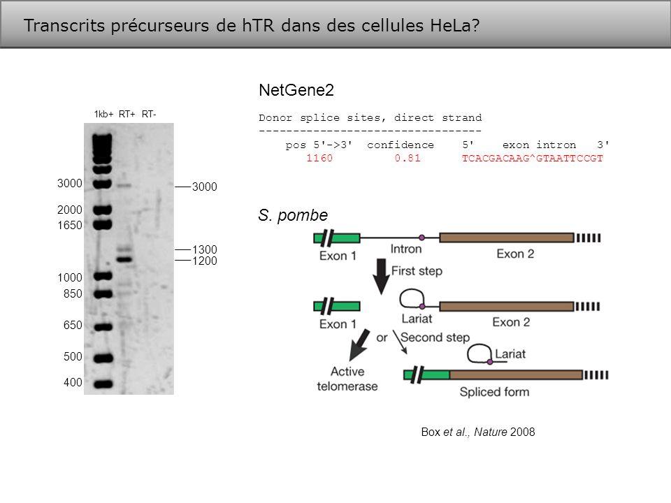 Transcrits précurseurs de hTR dans des cellules HeLa