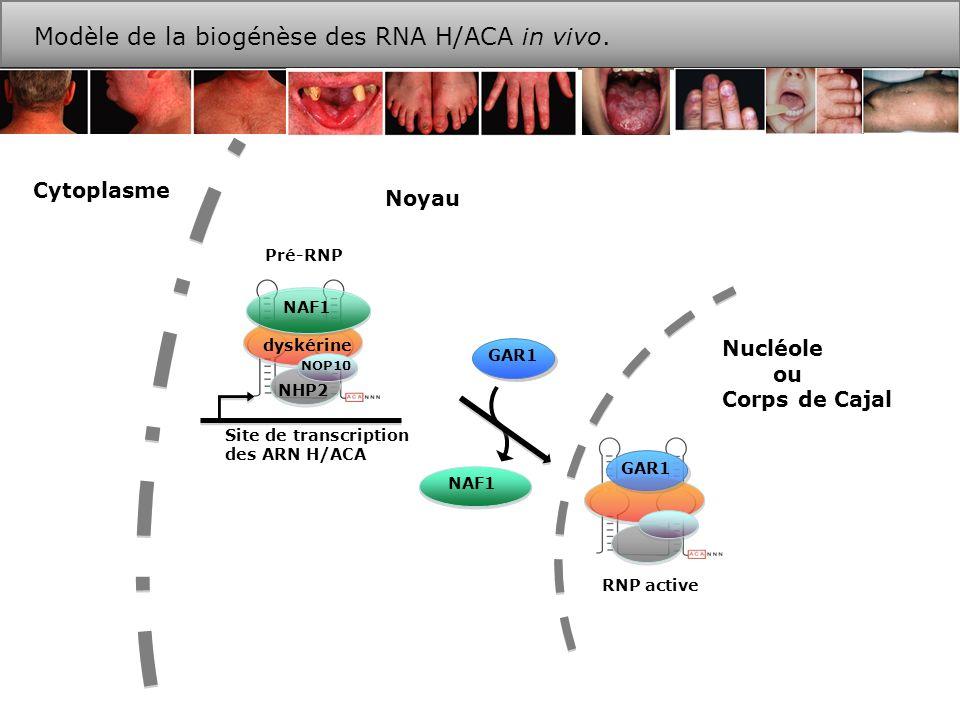 Modèle de la biogénèse des RNA H/ACA in vivo.