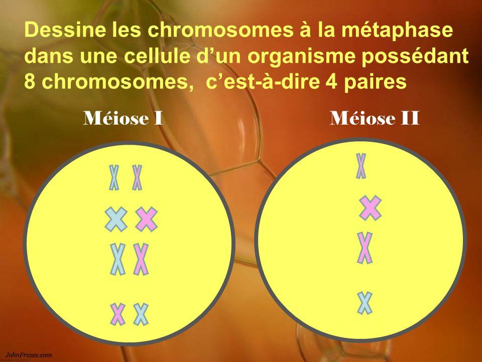 Dessine les chromosomes à la métaphase dans une cellule d'un organisme possédant 8 chromosomes, c'est-à-dire 4 paires