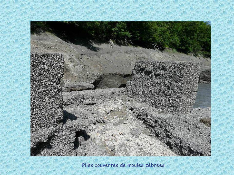 Piles couvertes de moules zébrées