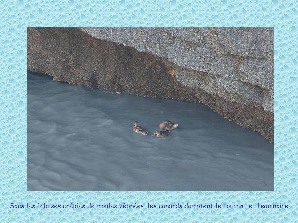Sous les falaises crépies de moules zébrées, les canards domptent le courant et l'eau noire