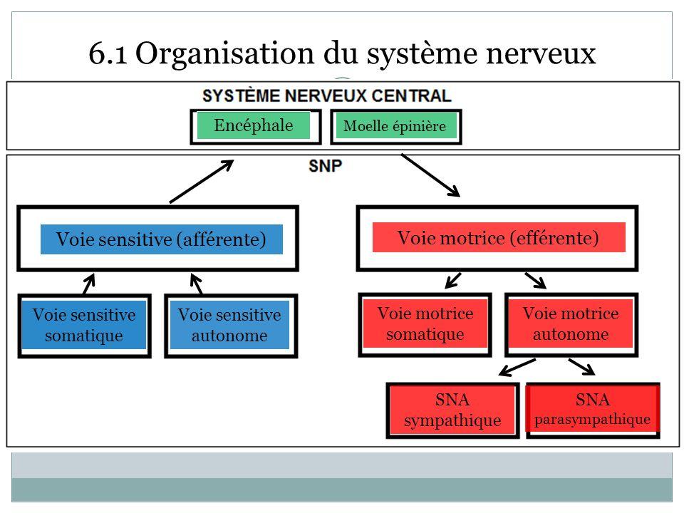 6.1 Organisation du système nerveux