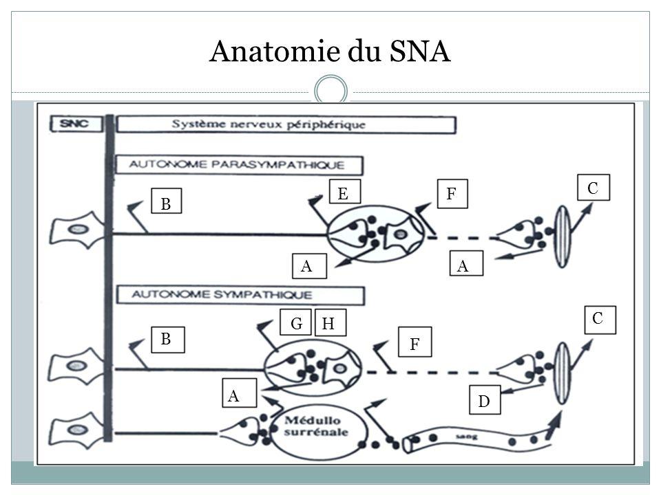 Anatomie du SNA C E F B A A C G H B F A D