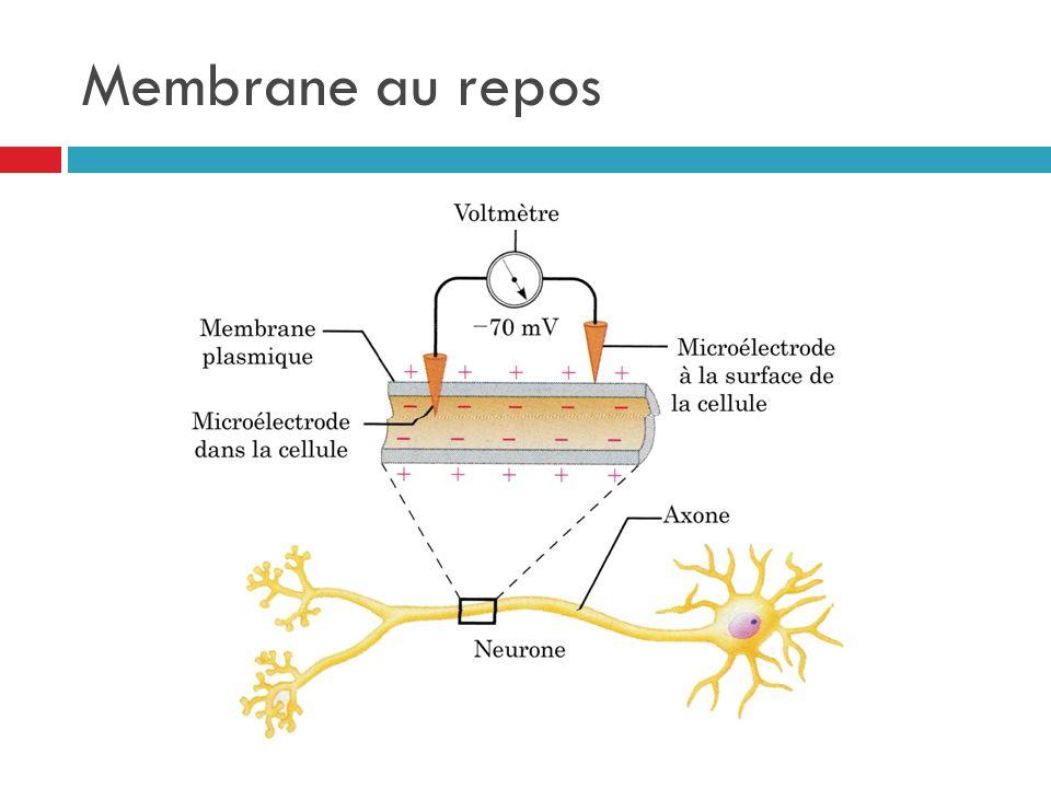 Membrane au repos