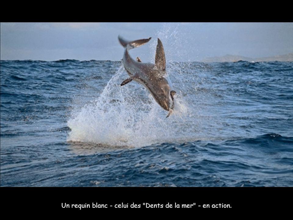 Un requin blanc - celui des Dents de la mer - en action.
