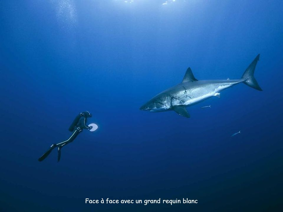 Face à face avec un grand requin blanc