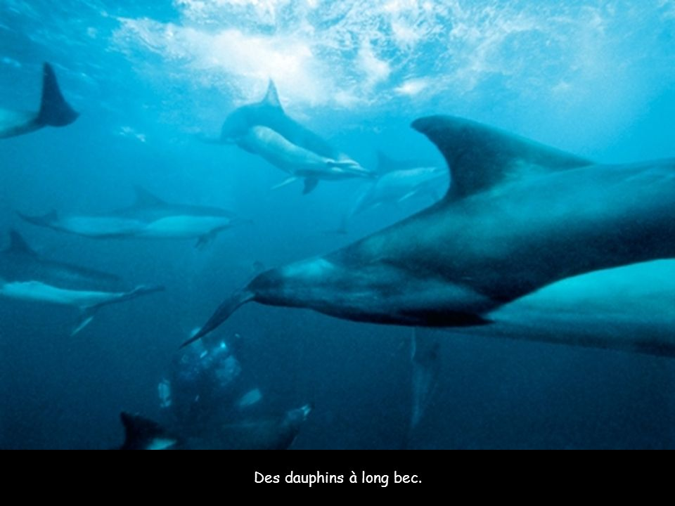 Des dauphins à long bec.