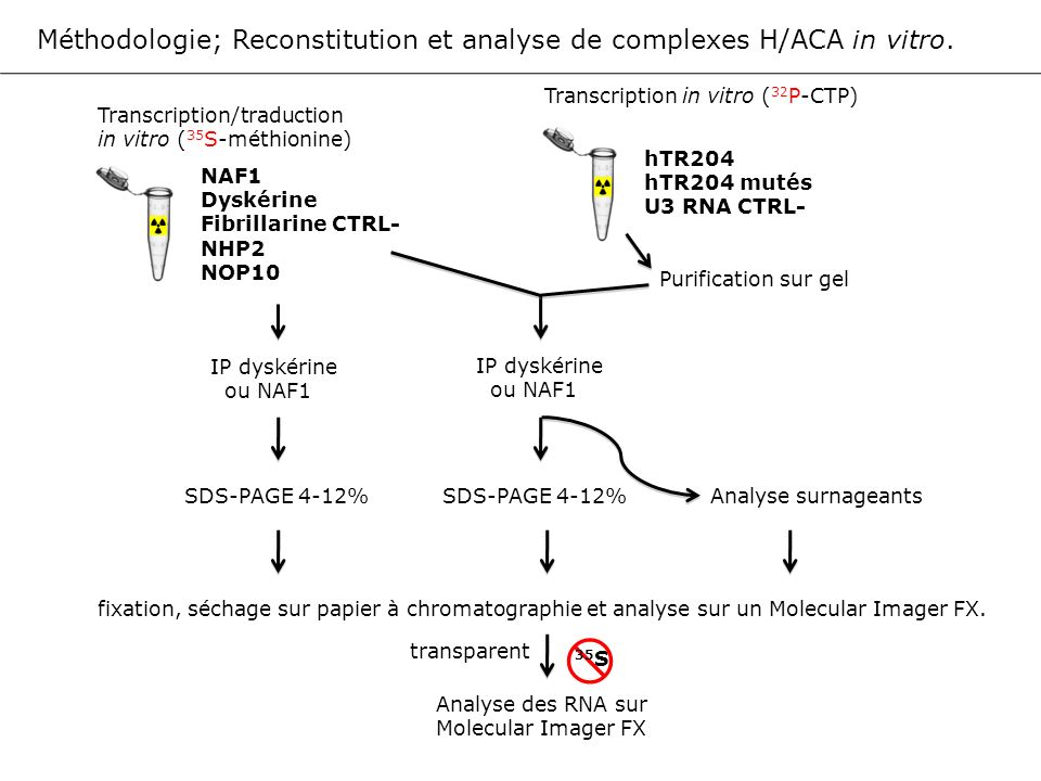 Méthodologie; Reconstitution et analyse de complexes H/ACA in vitro.