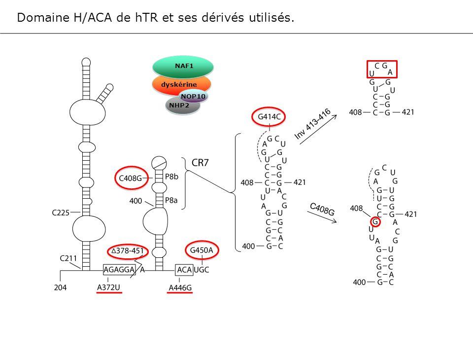 Domaine H/ACA de hTR et ses dérivés utilisés.