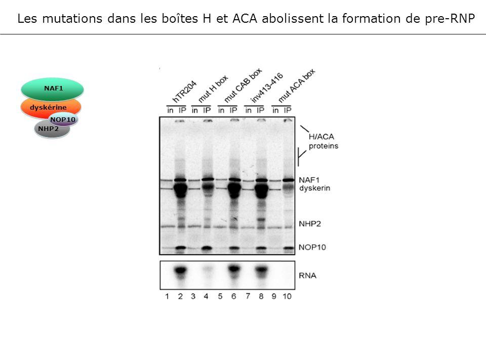 Les mutations dans les boîtes H et ACA abolissent la formation de pre-RNP