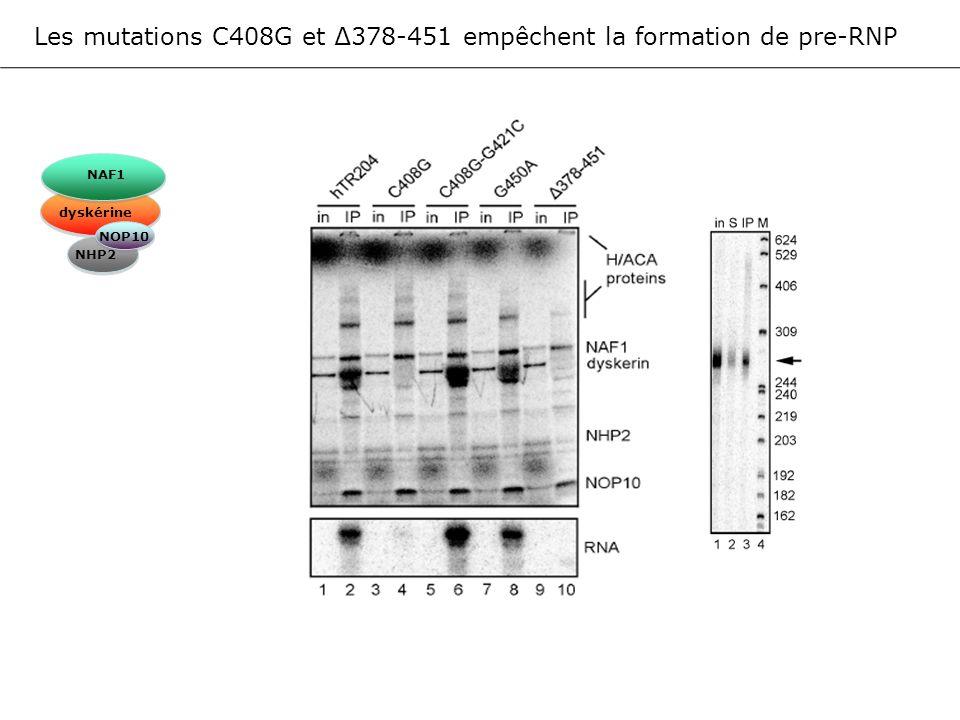 Les mutations C408G et ∆378-451 empêchent la formation de pre-RNP