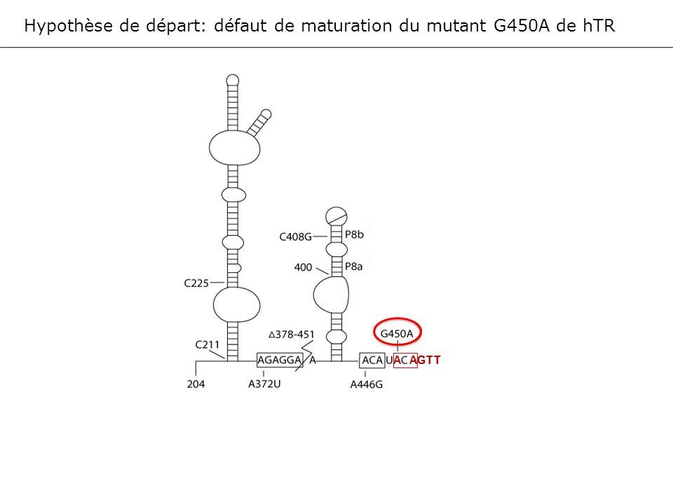 Hypothèse de départ: défaut de maturation du mutant G450A de hTR