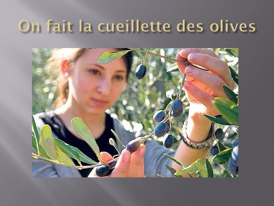 On fait la cueillette des olives