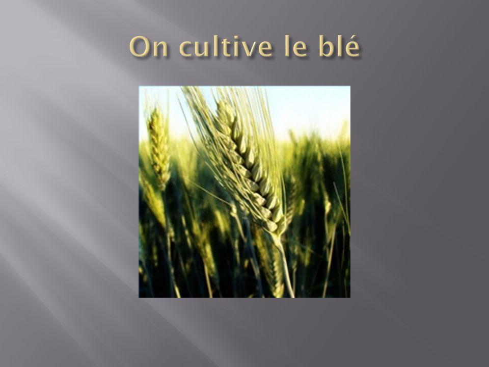 On cultive le blé