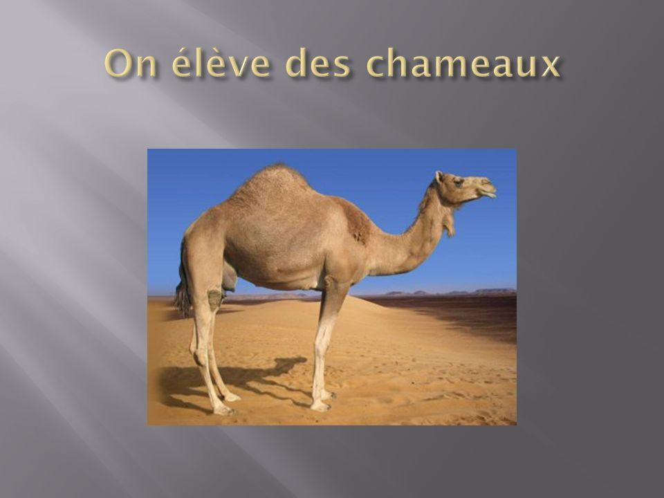 On élève des chameaux