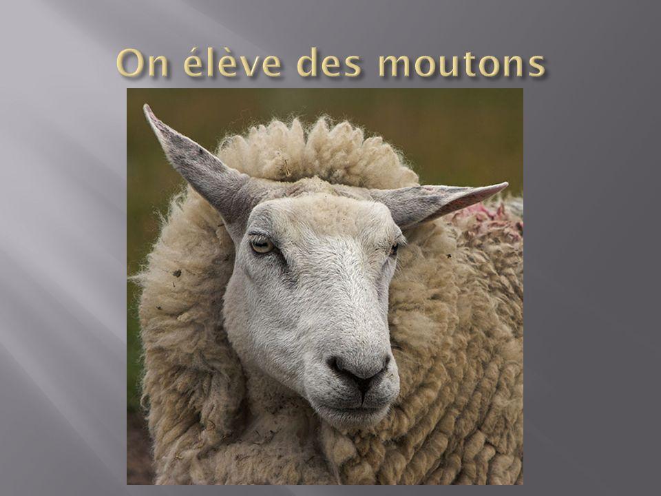 On élève des moutons