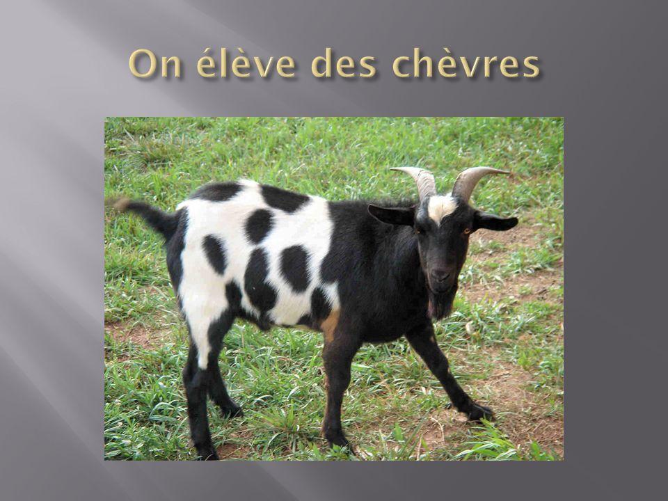 On élève des chèvres