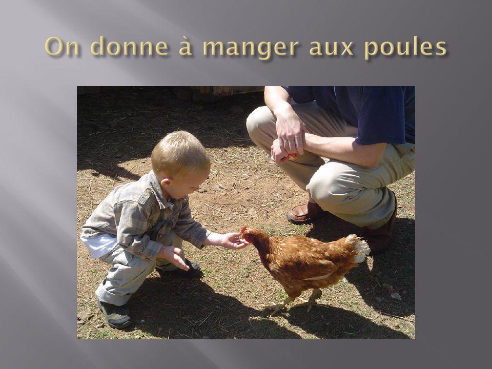 On donne à manger aux poules