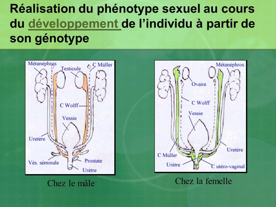 Réalisation du phénotype sexuel au cours du développement de l'individu à partir de son génotype