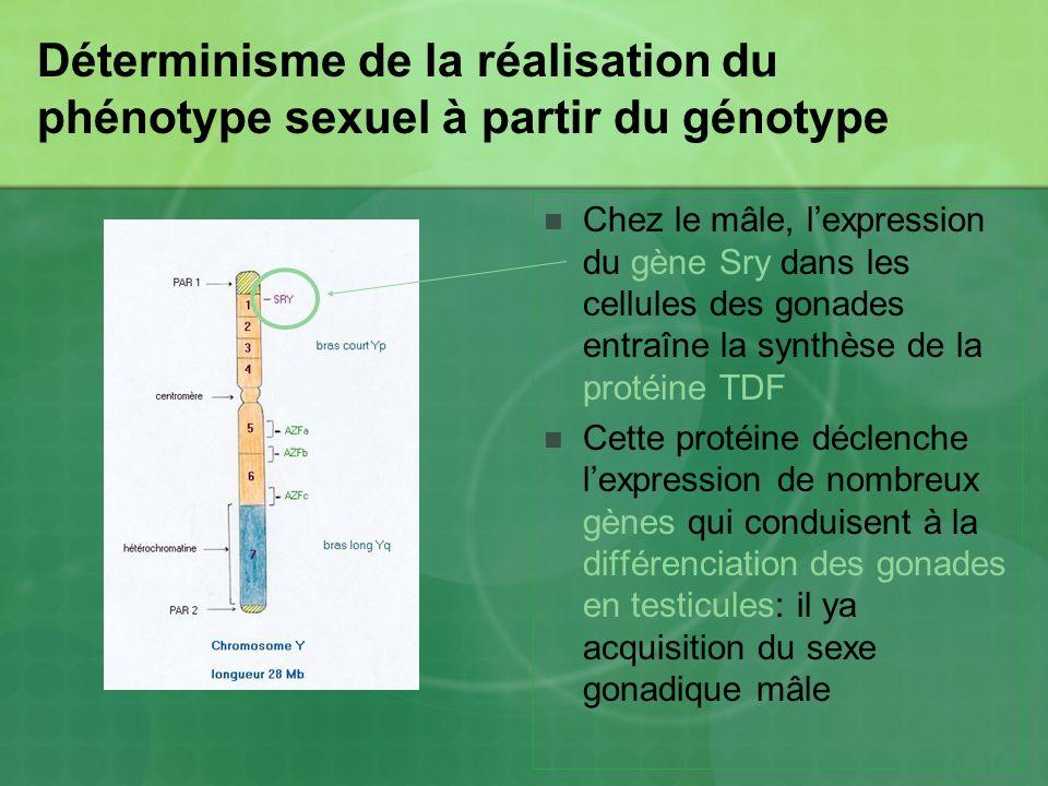 Déterminisme de la réalisation du phénotype sexuel à partir du génotype