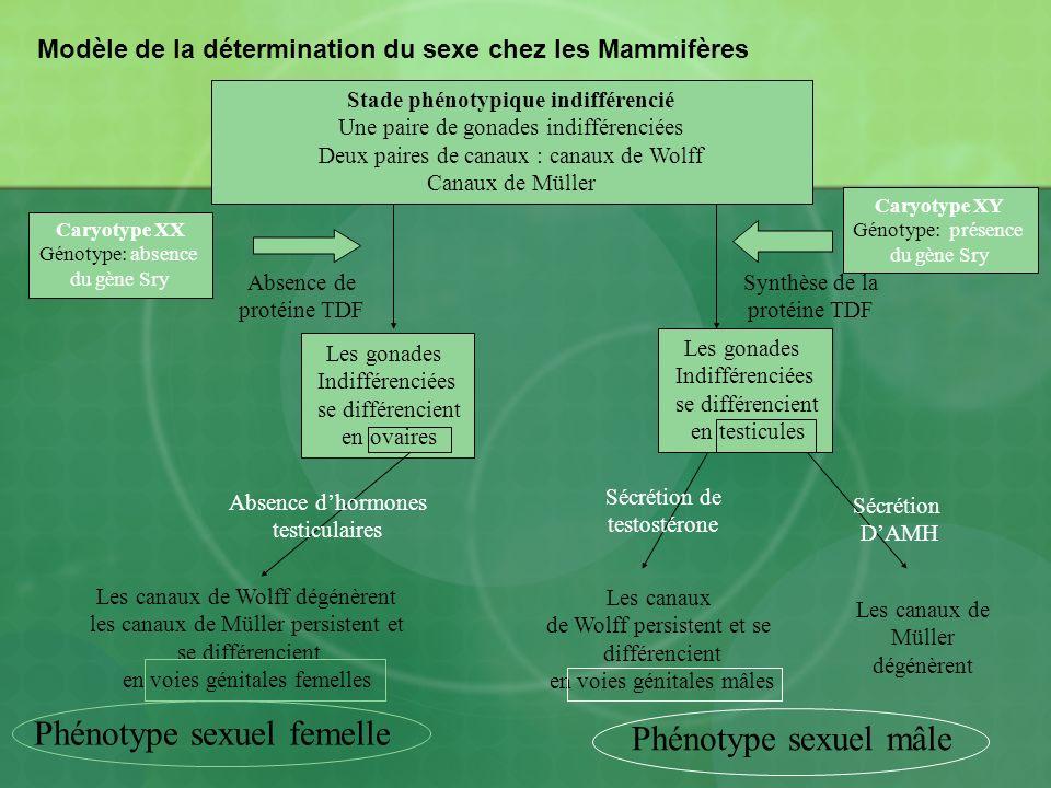 Modèle de la détermination du sexe chez les Mammifères