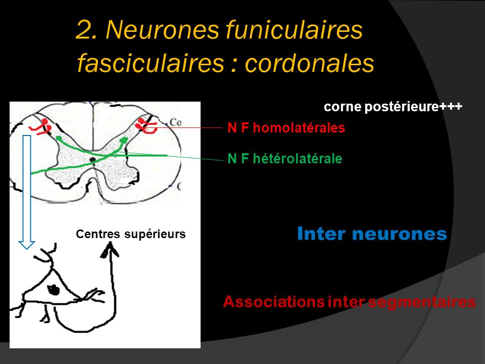 2. Neurones funiculaires fasciculaires : cordonales