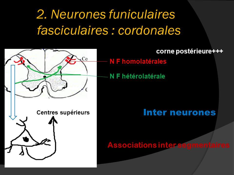 2. Neurones funiculaires fasciculaires : cordonales