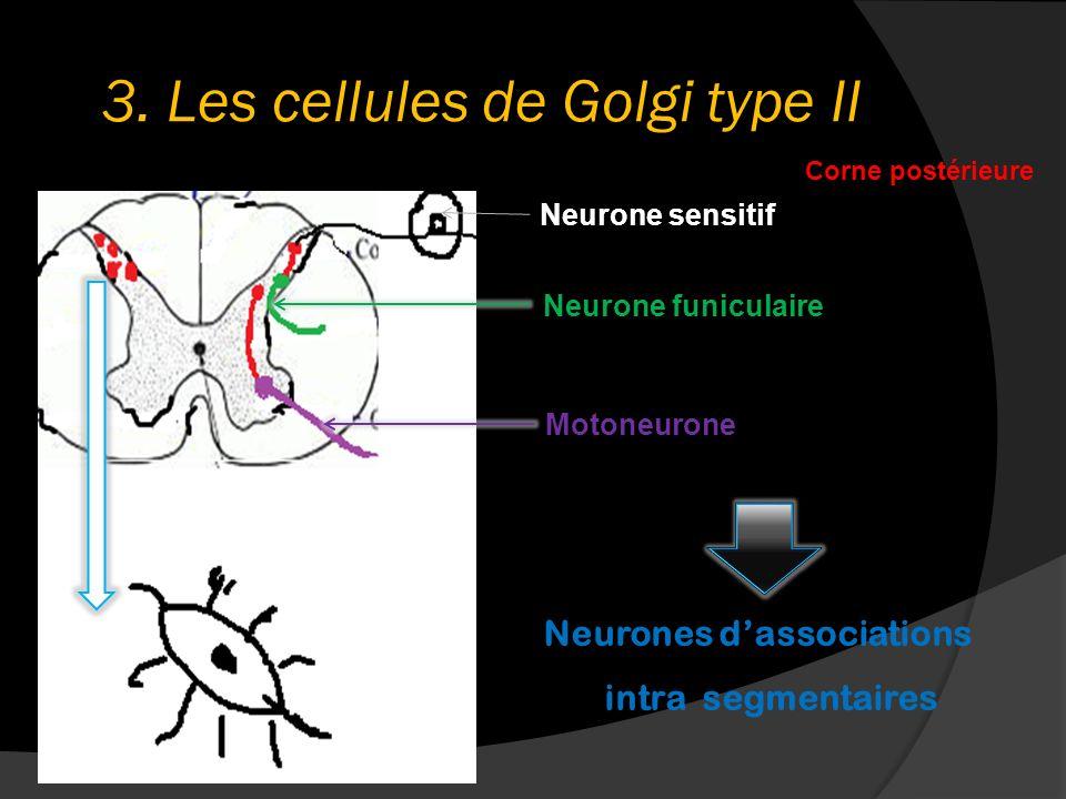 3. Les cellules de Golgi type II