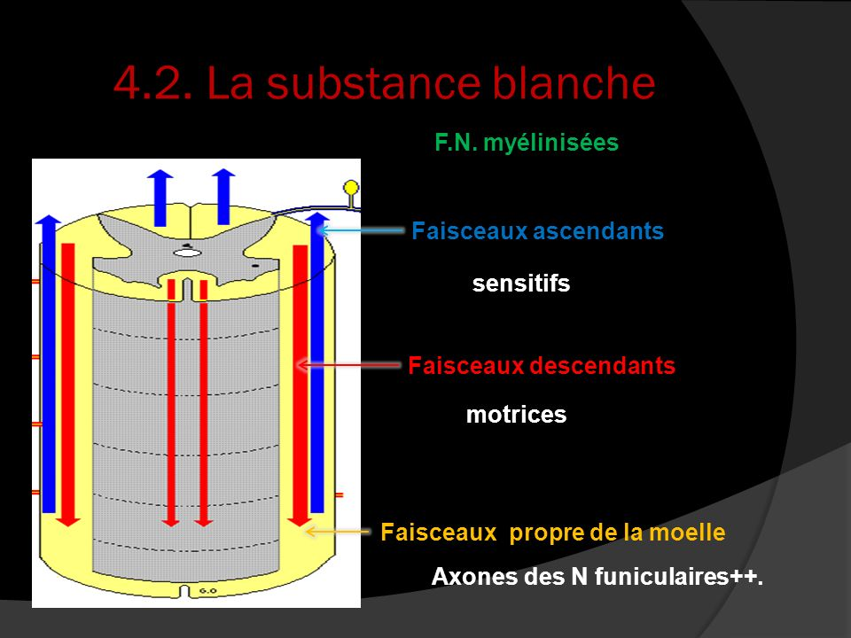 Axones des N funiculaires++.