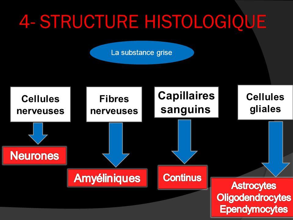 4- STRUCTURE HISTOLOGIQUE