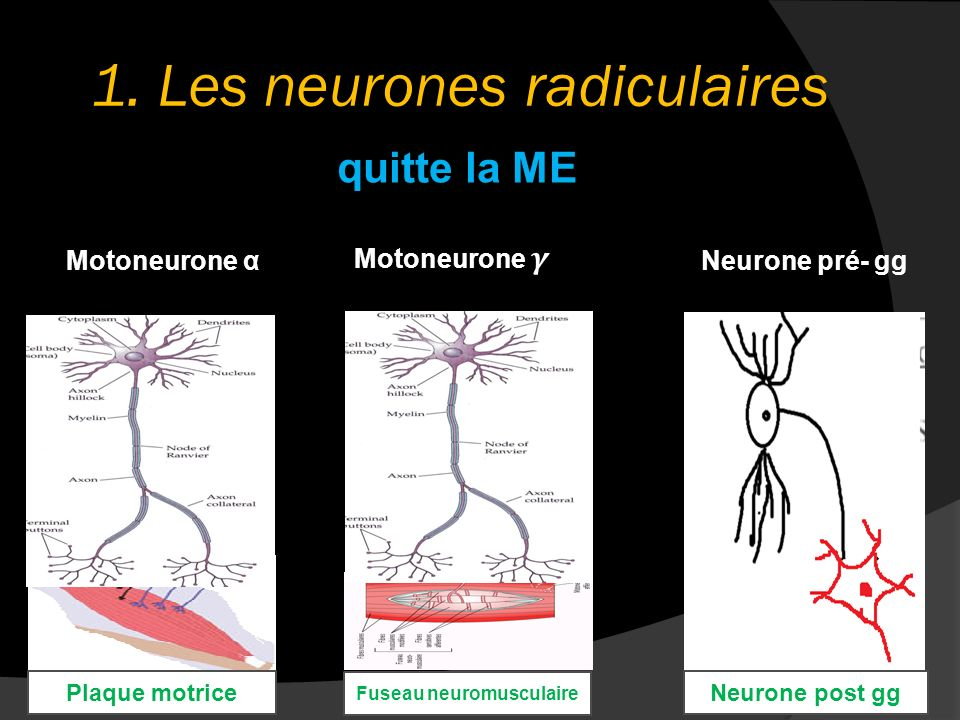 1. Les neurones radiculaires