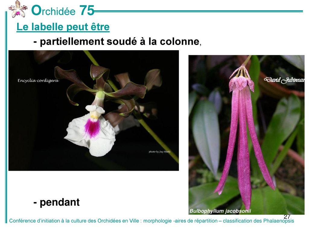 Classification des phalaenopsis ppt t l charger - Peut on couper les racines des orchidees ...