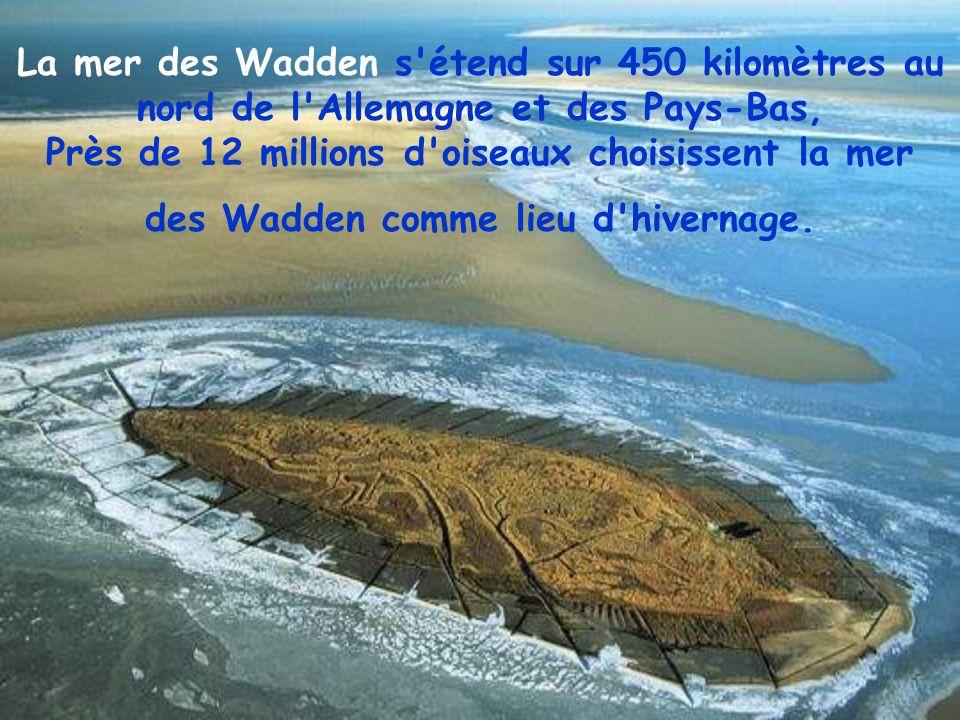 La mer des Wadden s étend sur 450 kilomètres au nord de l Allemagne et des Pays-Bas, Près de 12 millions d oiseaux choisissent la mer des Wadden comme lieu d hivernage.