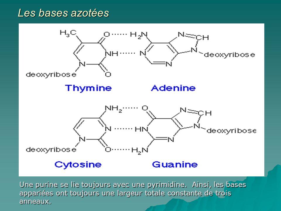 Les bases azotées