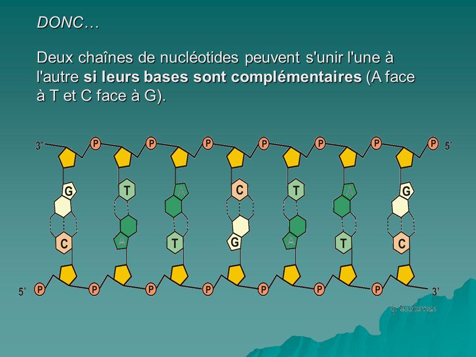 DONC… Deux chaînes de nucléotides peuvent s unir l une à l autre si leurs bases sont complémentaires (A face à T et C face à G).