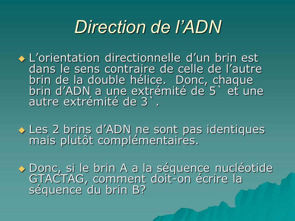 Direction de l'ADN
