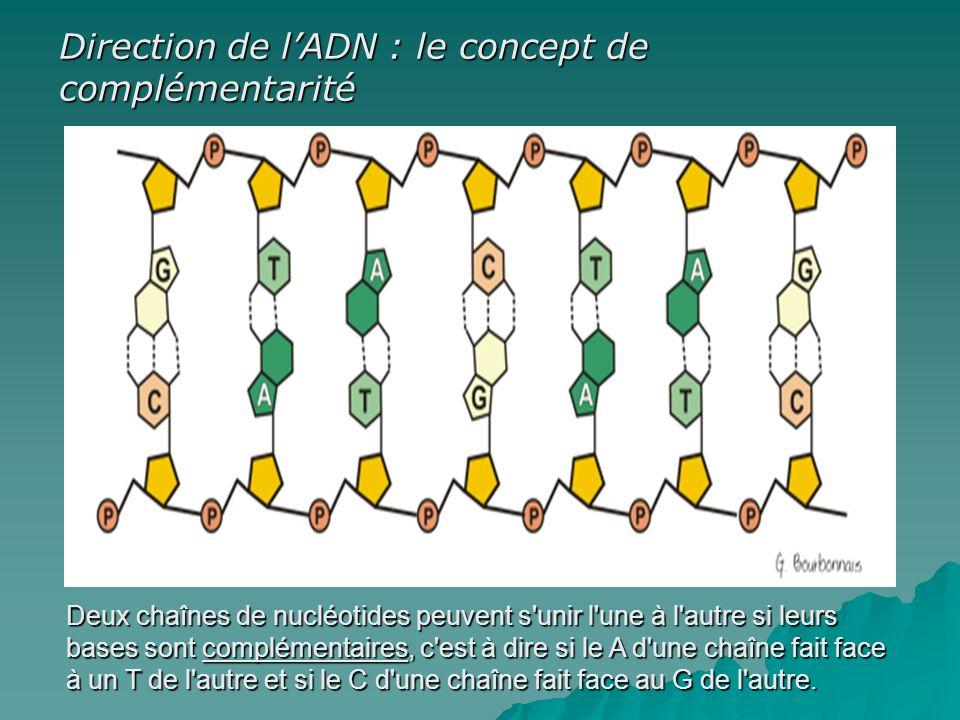 Direction de l'ADN : le concept de complémentarité