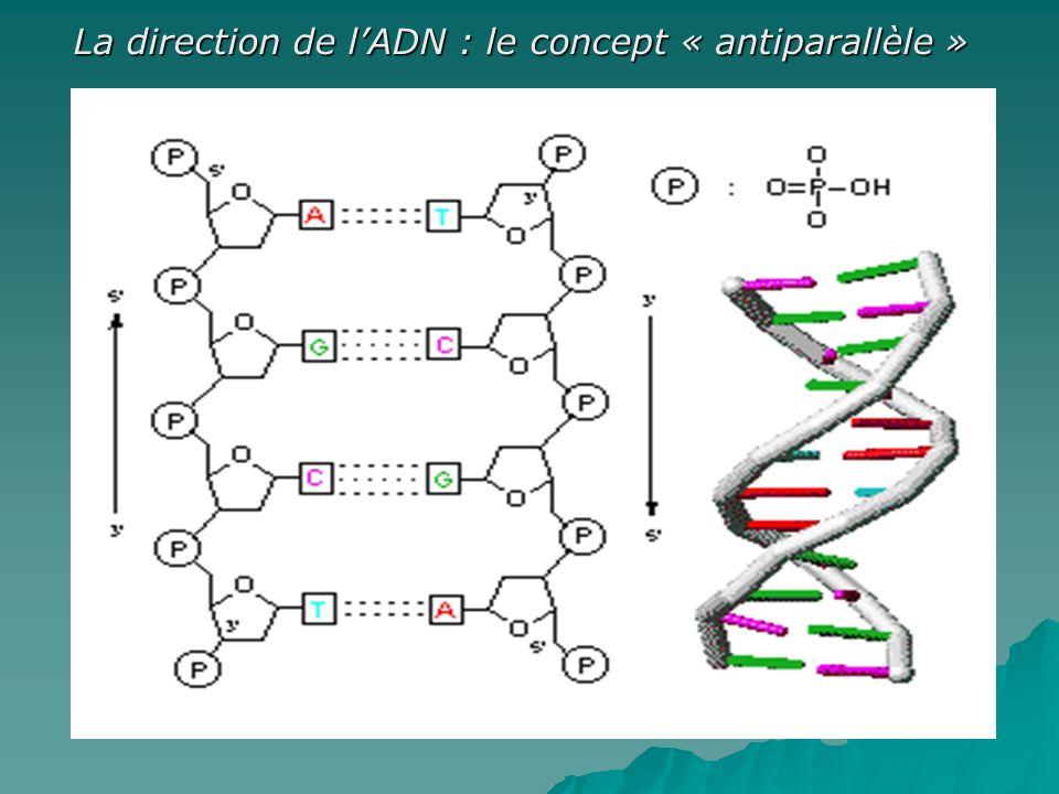 La direction de l'ADN : le concept « antiparallèle »