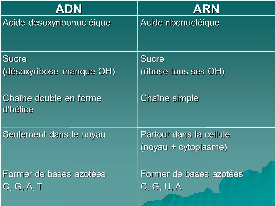 ARN ADN Sucre (ribose tous ses OH)‏ (désoxyribose manque OH)‏