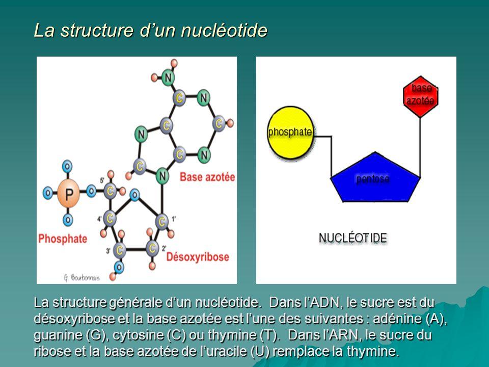 La structure d'un nucléotide