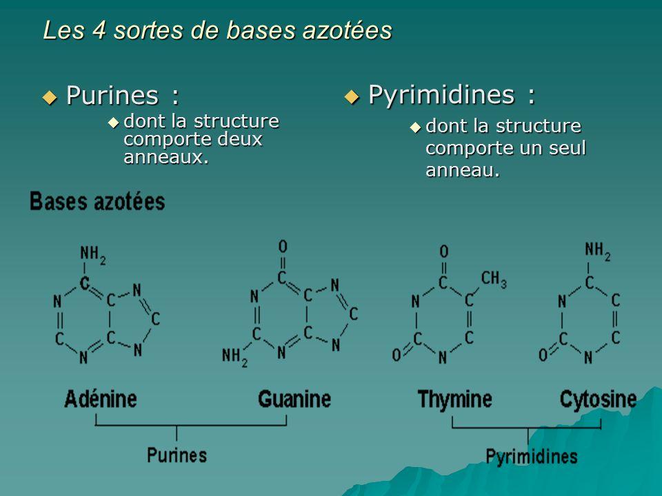 Les 4 sortes de bases azotées
