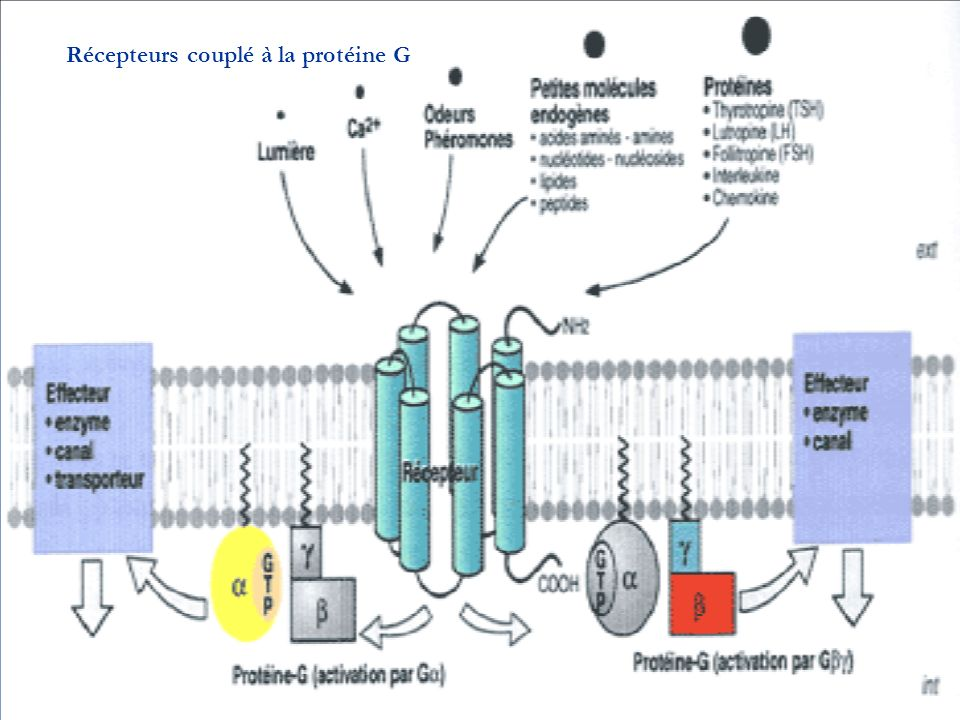 Récepteurs couplé à la protéine G