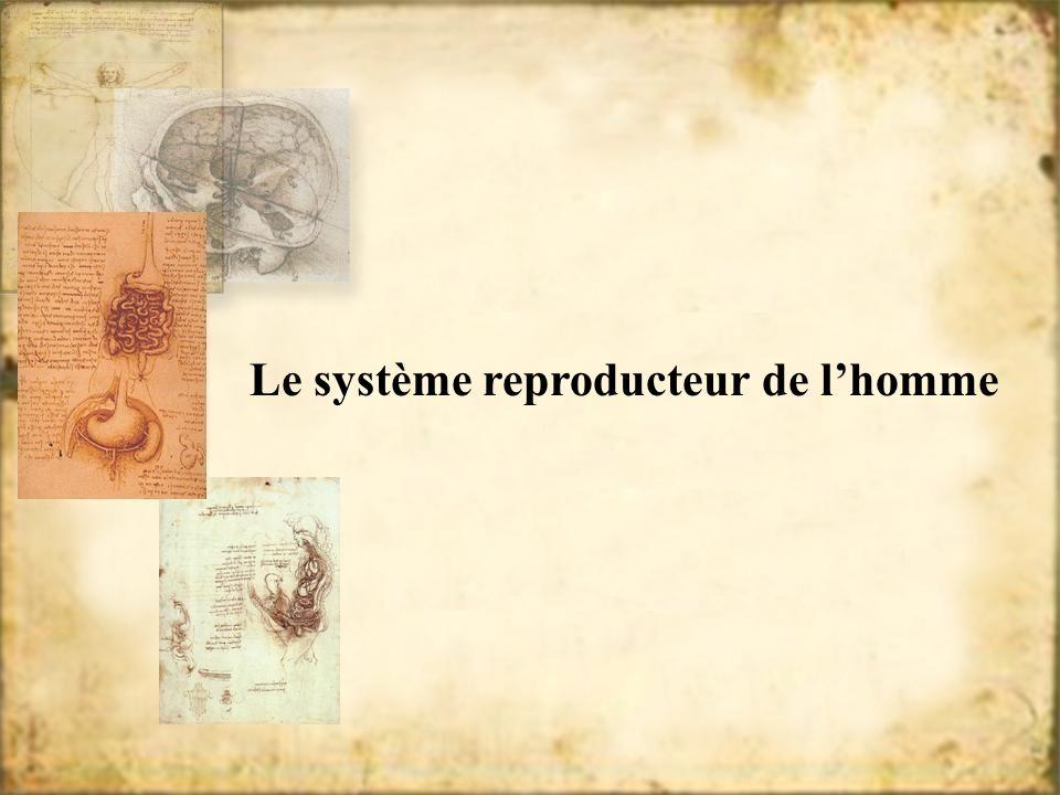 Le système reproducteur de l'homme