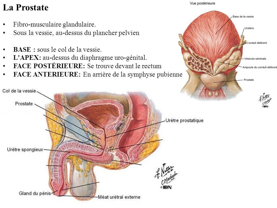 La Prostate Fibro-musculaire glandulaire.
