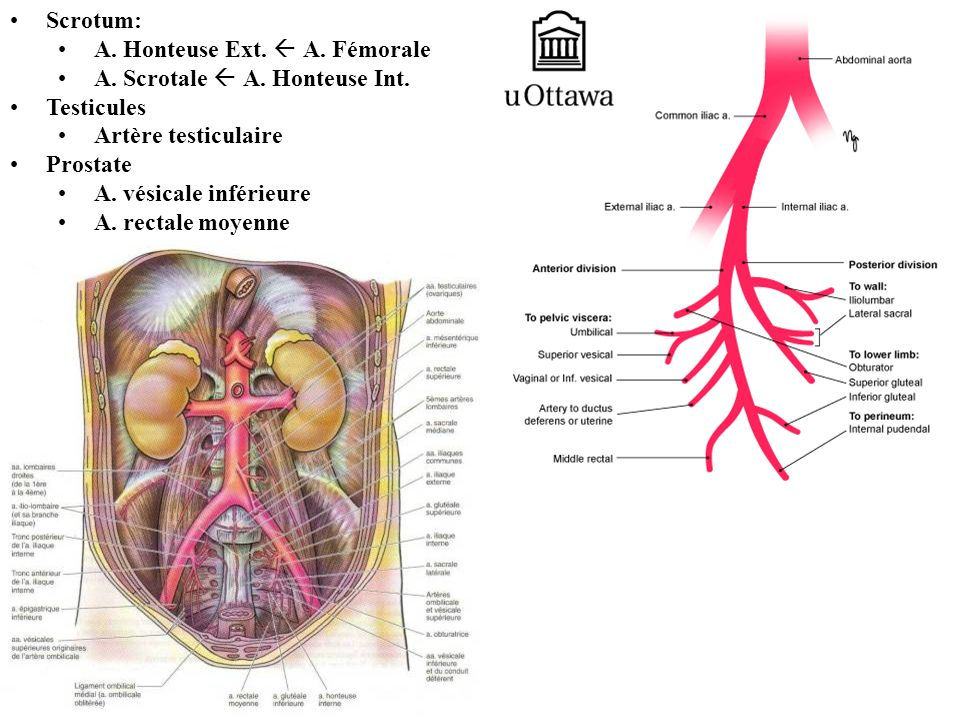 Scrotum: A. Honteuse Ext.  A. Fémorale. A. Scrotale  A. Honteuse Int. Testicules. Artère testiculaire.