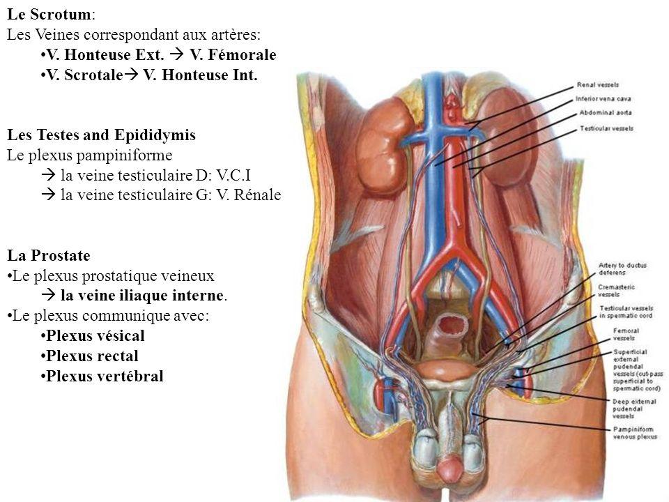 Le Scrotum: Les Veines correspondant aux artères: V. Honteuse Ext.  V. Fémorale. V. Scrotale V. Honteuse Int.